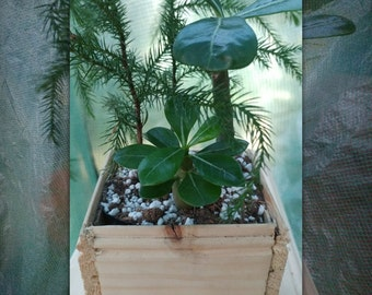 Norfolk pine tree, desert rose plants, bonsai forest well rooted Succulents,great gift idea, hand crafted planter display pot