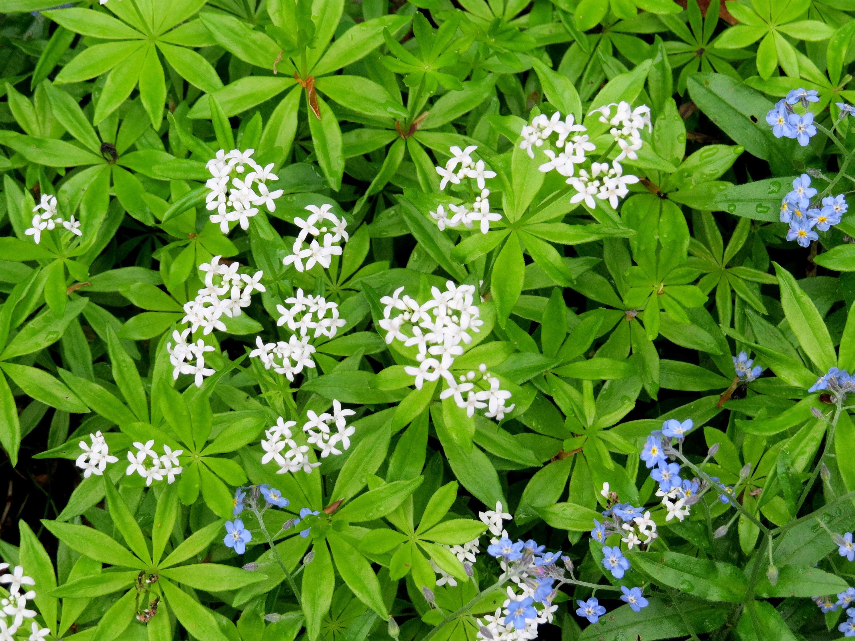 Sweet Woodruff Galium Odoratum groundcover for shade