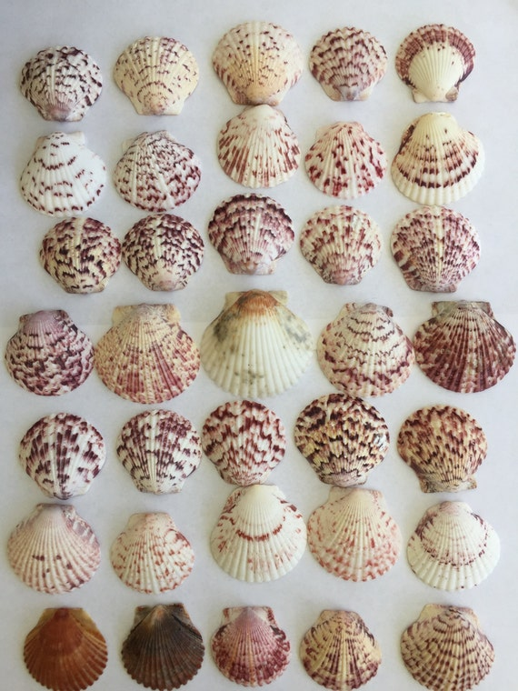 35 large exceptional scallop seashells craft supplies for Large seashells for crafts