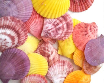 Noble Pecten Shells, scallop shells, craft shells, colorful shells, beach decor, shell jewelry, terrarium supply, beach crafts, bulk shells