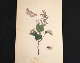 1799 Insect Print - Caterpillar and Pink Moth, Plate: 181, Original Hand-Colored Antique Engraving