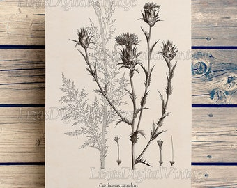 Digital art, Thistle print, Antique botanical print, Thistle art, Instant download art, Botanical art, Art print Vintage, Printable JPG PNG