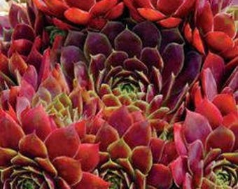 Red hardy succulent plant, Commander Hay hens & chicks, drought tolerant, fairy garden, red sempervivum, house leek, zeriscaping, succulent