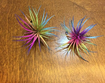 "3 Tillandsia Air Plants 2""-3"" Wide Bursting With Bright Colors LIVE"