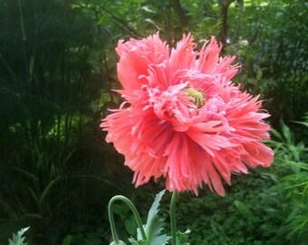 ORIENTAL POPPY SEED - Peter Neumann's Pink