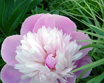 5 Seeds Pink and White Japanese Peony Flower Seeds Rare 'Smith Lady'