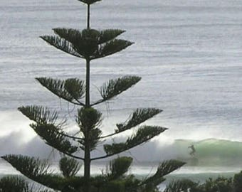 Island Norfolk Pine Tree, 10 seeds - Araucaria seeds