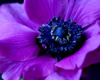 30 + Purple Anemone Flower Seeds / Perennial