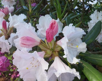 Rhododendron, Bloom, White, Pikn, Green,  Fine Art Photography, Home Decor, Wall Art, Canvas Gallery Wrap