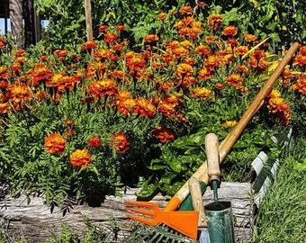 Beautiful bright orange and yellow Marigold Seeds x 10 grams * BULK *