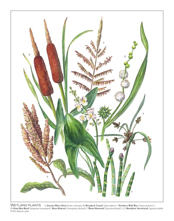 Wetland Plants 11x14 Print