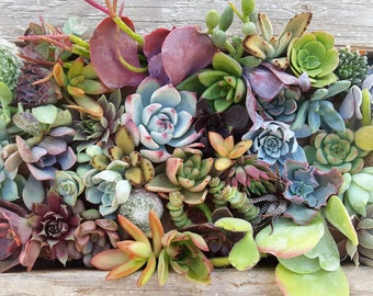 50 assorted succulents