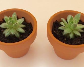 2 Mini Sempervivum / Succulent plants / Wedding Favours