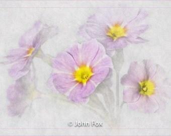 Limited edition print  'Primulas', a Giclee fine art print