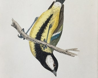 Antique Bird Print from 1890 of a great tit, great gift for ornithology lovers.