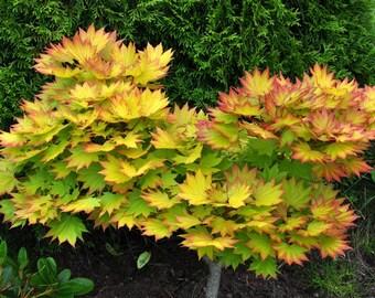 AUTUMN MOON Maple Seeds - Acer Shirasawanum  - BEAUTIFUL -  1 Dollar Shipping