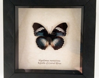 Real butterfly framed - Hypolimnas monteironis