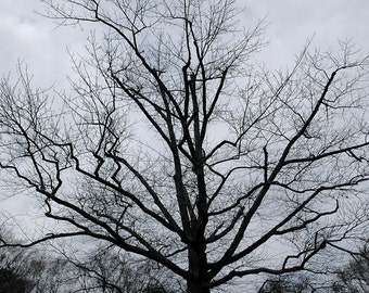 Photograph of tree in winter against a gray sky