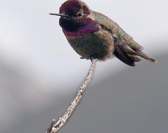 Male Annas Hummingbird