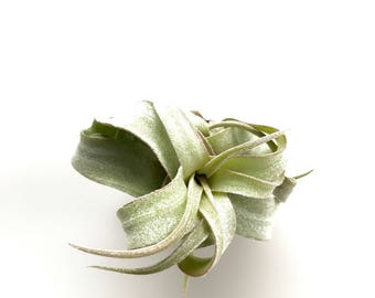 Tillandsia Streptophylla Air Plant