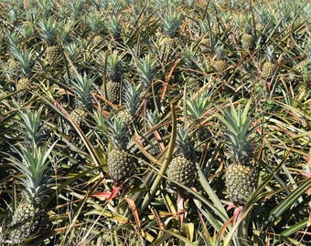 Maui Hawaii Pineapple Field
