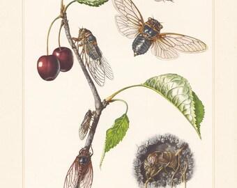 Vintage lithograph of jar flies, buzzers, european cicadas from 1956