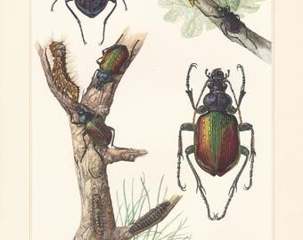 Vintage lithograph of ground beetles, the forest caterpillar hunter from 1956