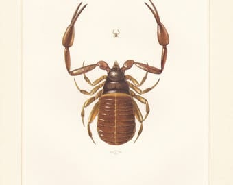 Vintage lithograph of book scorpion or false scorpion from 1956