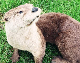 Real Vintage Taxidermy Male North American river Otter
