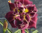 Daylily Plant - Try Again (S-839)