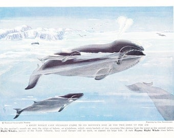 1940s Right Whale Print -  Vintage Antique Animal Zoology Ocean Sea Home Decor Book Plate Art Illustration for Framing