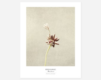 Field Garlic Original Art Print - Botanical Wall Art - Flower Poster - Large Botanical Print