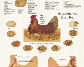 "Chicken Anatomy Poster Wall Chart - 24"" X 36"""