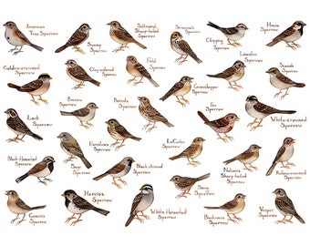 Sparrows Field Guide Art Print / Birds of North America / Watercolor Painting / Wall Art / Nature Prints / Bird Poster