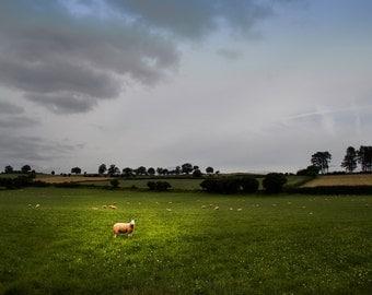 Sheep in Field Photo, Sheep Canvas, Sheep Print, England Art, UK Canvas, UK Art, UK Canvas, uk print