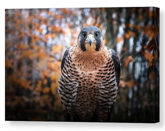 Peregrine Falcon Gallery Wrapped Canvas, Raptor Wall Art, Bird of Prey Nature Photography, Ready to Hang, Unique Home and Office Decor