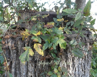 Poison Ivy on Tree Trunk Photograph DIGITAL Download Primitive Rustic Country Woodlands Botanic Graphics Art Background COMMERCIAL LICENSE