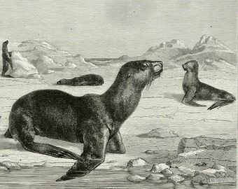 1882 Antique print of EARED SEALS. Otary. Sea Lions. Marine Mammals. 135 years old gorgeous engraving