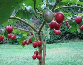 Tomato Tree Seeds, Cyphomandra betacea - 25 Seeds
