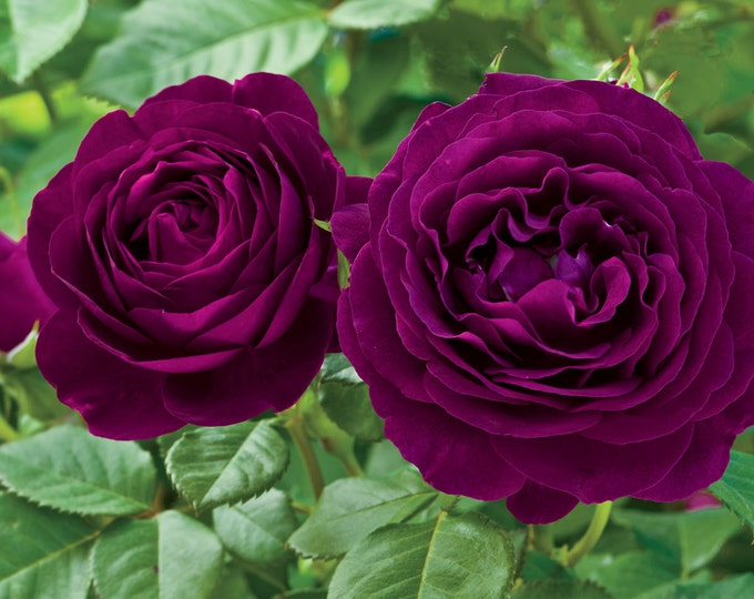 Twilight Zone Rose Bush Plant Purple Fragrant Rose Grown Organic 4 Inch Container - Own Root Rose Non-GMO - Spring Shipping