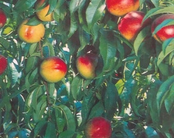 4'-5' Sunred Nectarine Tree Plant Live Fruit Trees Grow Your Own Healthy Fresh Natural Nectarines New Home Garden Best Orchard Plants Now