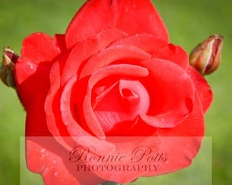 Rose, Botanical Photography, Landscape Photography, Nature Photography, Fine Art, Made in USA, Wall Art, Room Decor