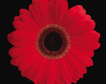 ADGC) CALIFORNIA GIANT-Red Gerbera Daisy~Seed!!~~~~~~~Massive Flower Faces!