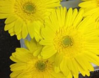 ADGR) REVOLUTION YELLOW w. Green Eye Gerbera Daisy~Seed!!~~~~~A Wild Beauty