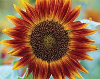 ASUD)~LITTLE BECKA Sunflower~Seeds!!!!~~~Dwarf Bi-color!