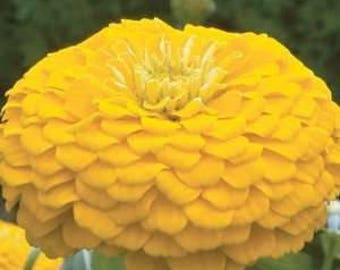 AZ)~CANARY ZINNIA~Seeds!!!!~~~~~~A Lively Beauty!