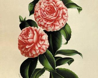 Camellia flower art print botanical art print Vintage home decor wall art French prints garden art print old prints antique prints large art