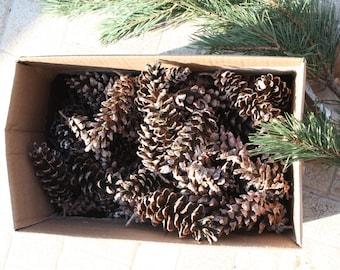 Lot of 130 pine cones , Holiday cones ,natural cones Christmas decoration , rustic decor