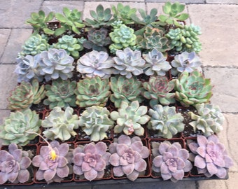 3'' of 36 Assorted Succulent Wedding Favors, Cheapest on the Market. Perfect for Wedding and Shower Favors, Event and Party Favors.