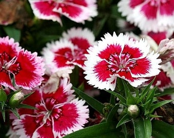 Chinese Pink Merry-Go-Round Flower Seeds / Dianthus Chinensis / Annual 40+